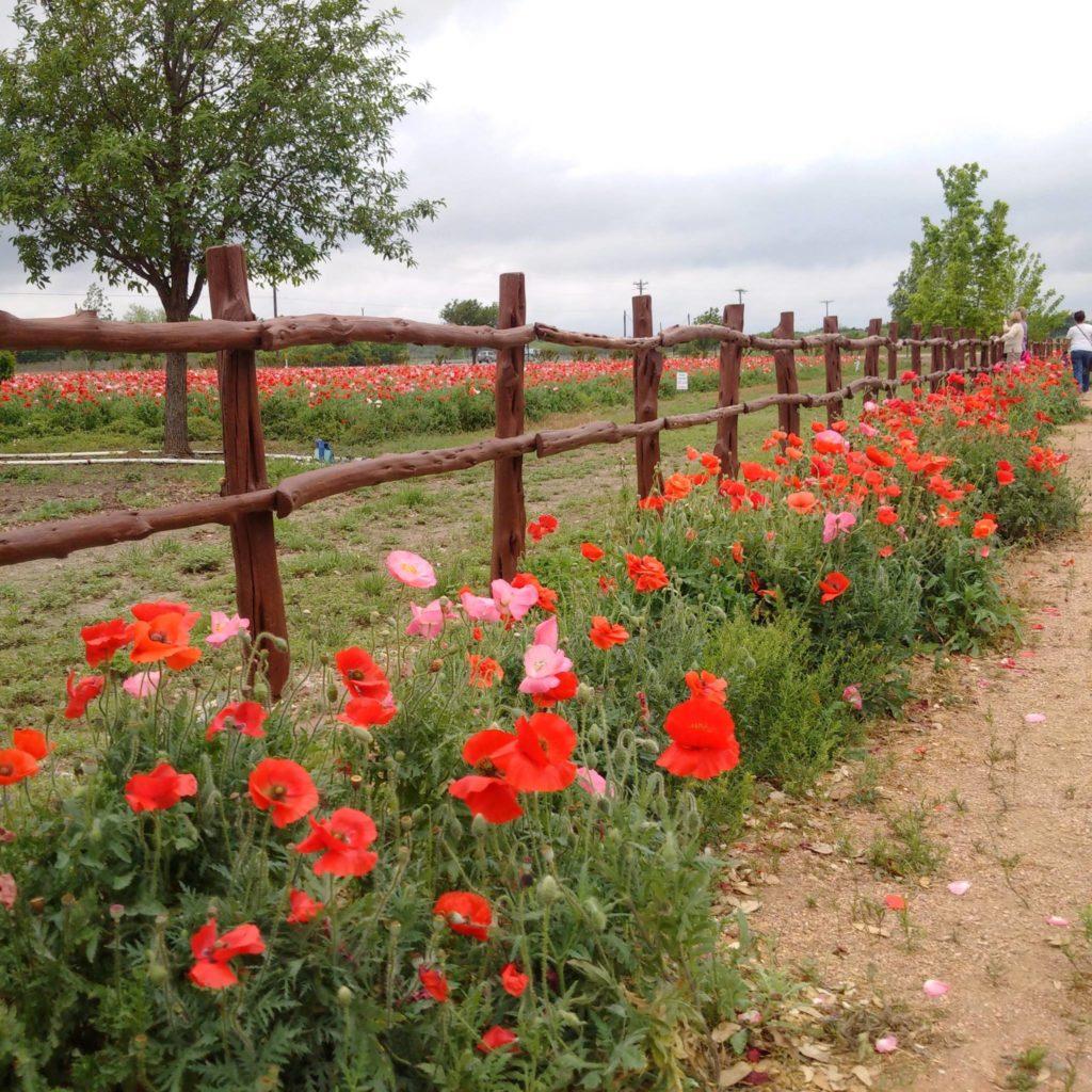 Fredericksburg poppies