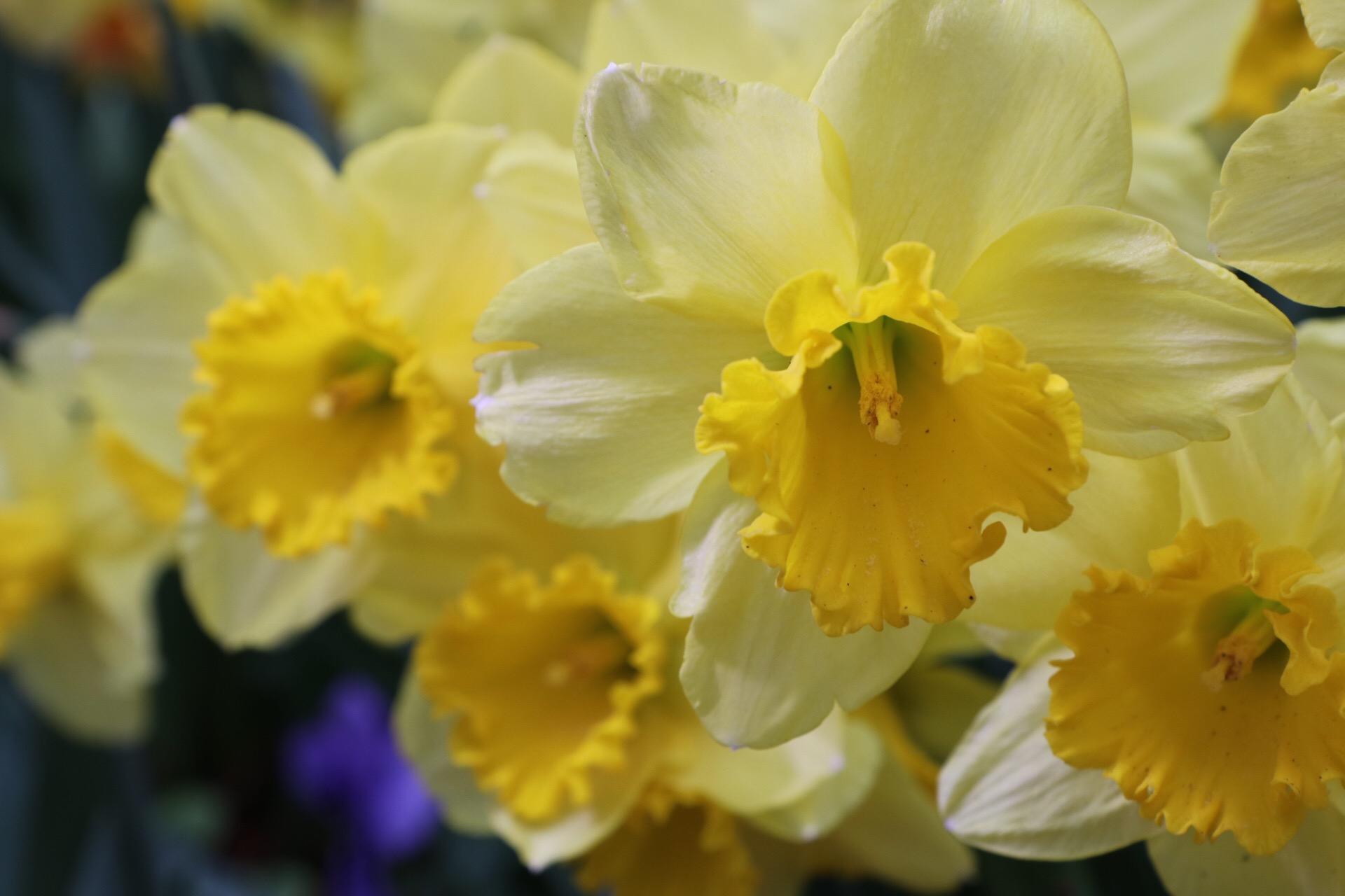 daffodils arboretum IMG_0115