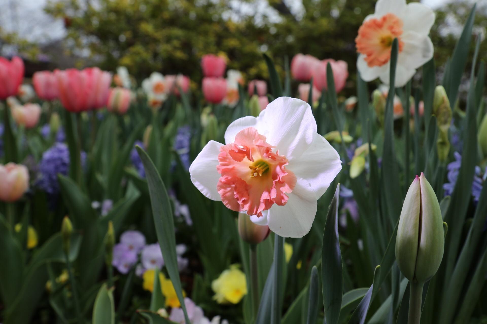daffodils arboretum IMG_0166