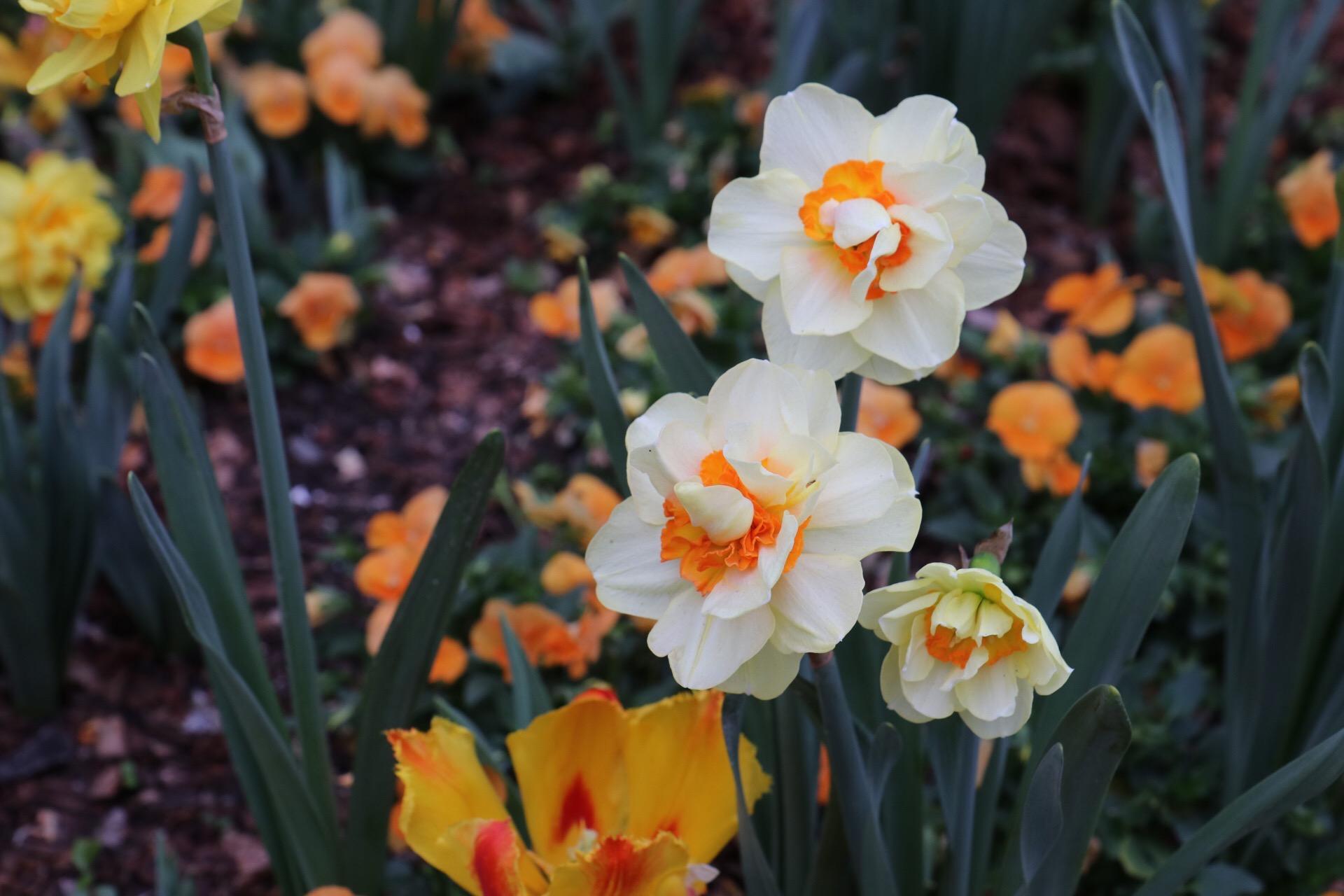 daffodils arboretum IMG_0201 (1)