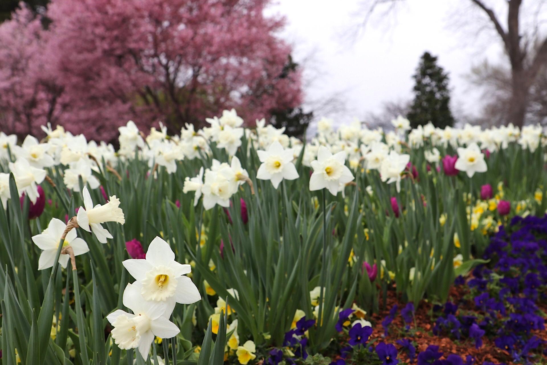 daffodils arboretum IMG_0263