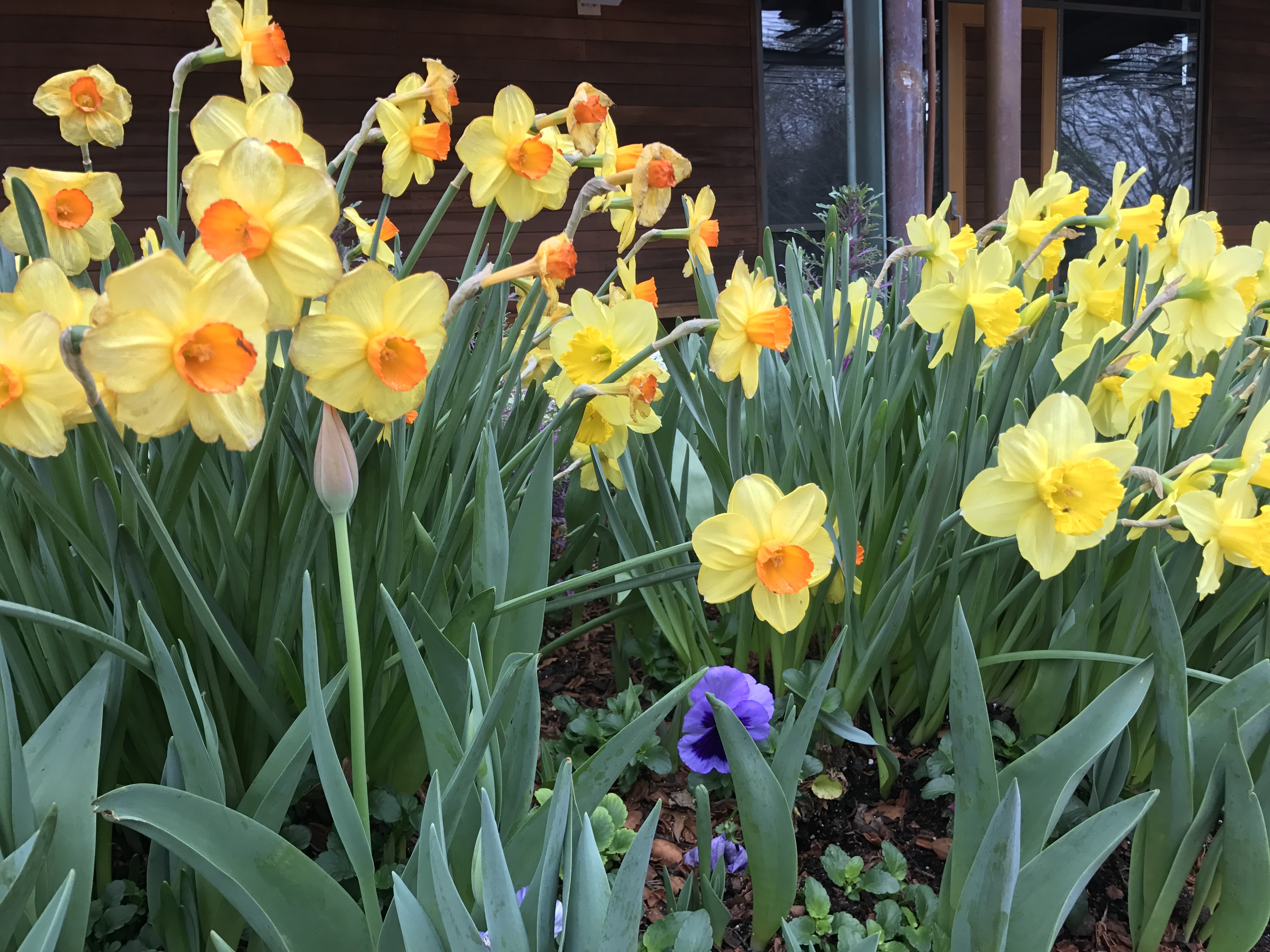 daffodils arboretum IMG_2737