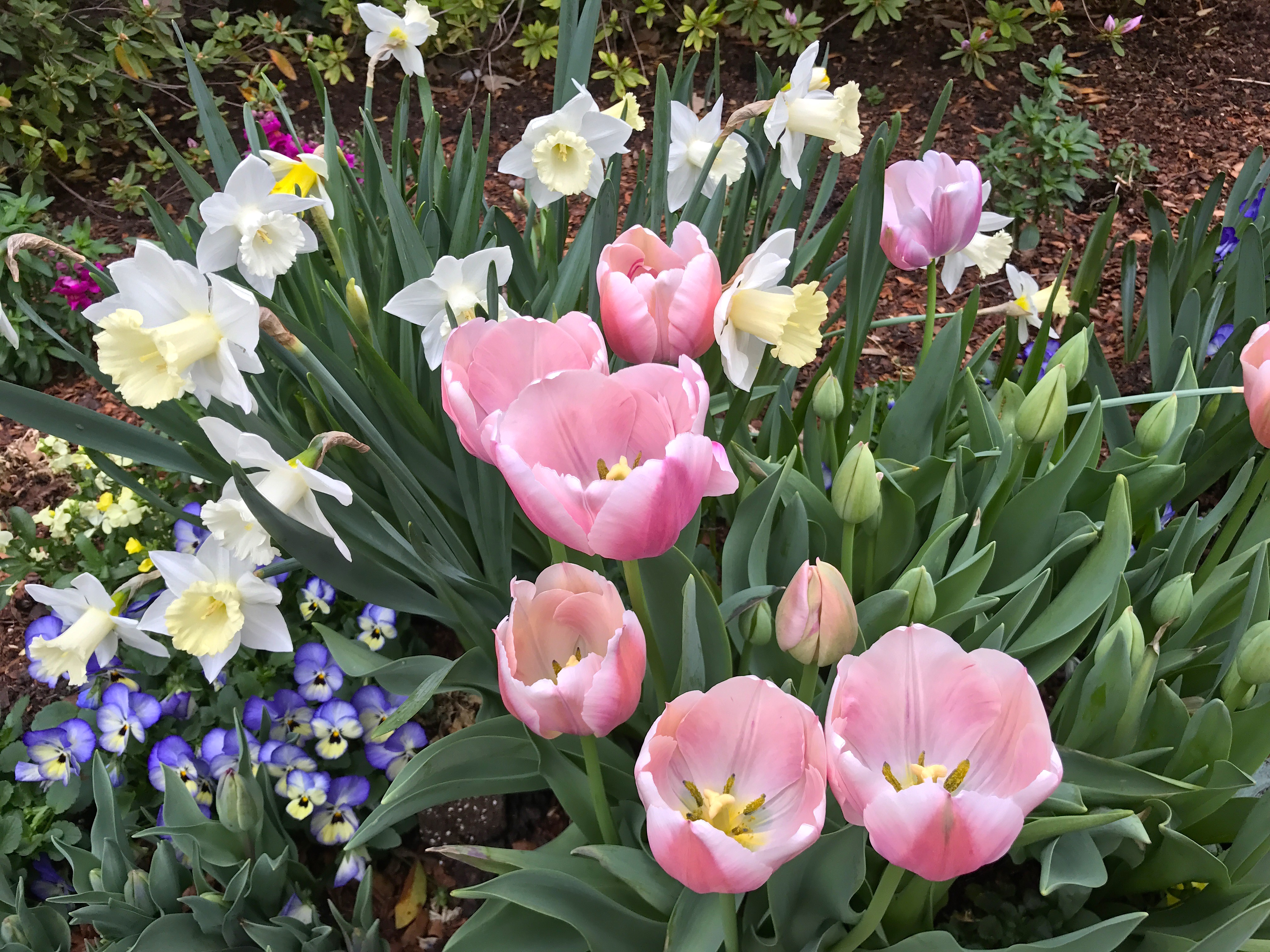 daffodils arboretum IMG_2767