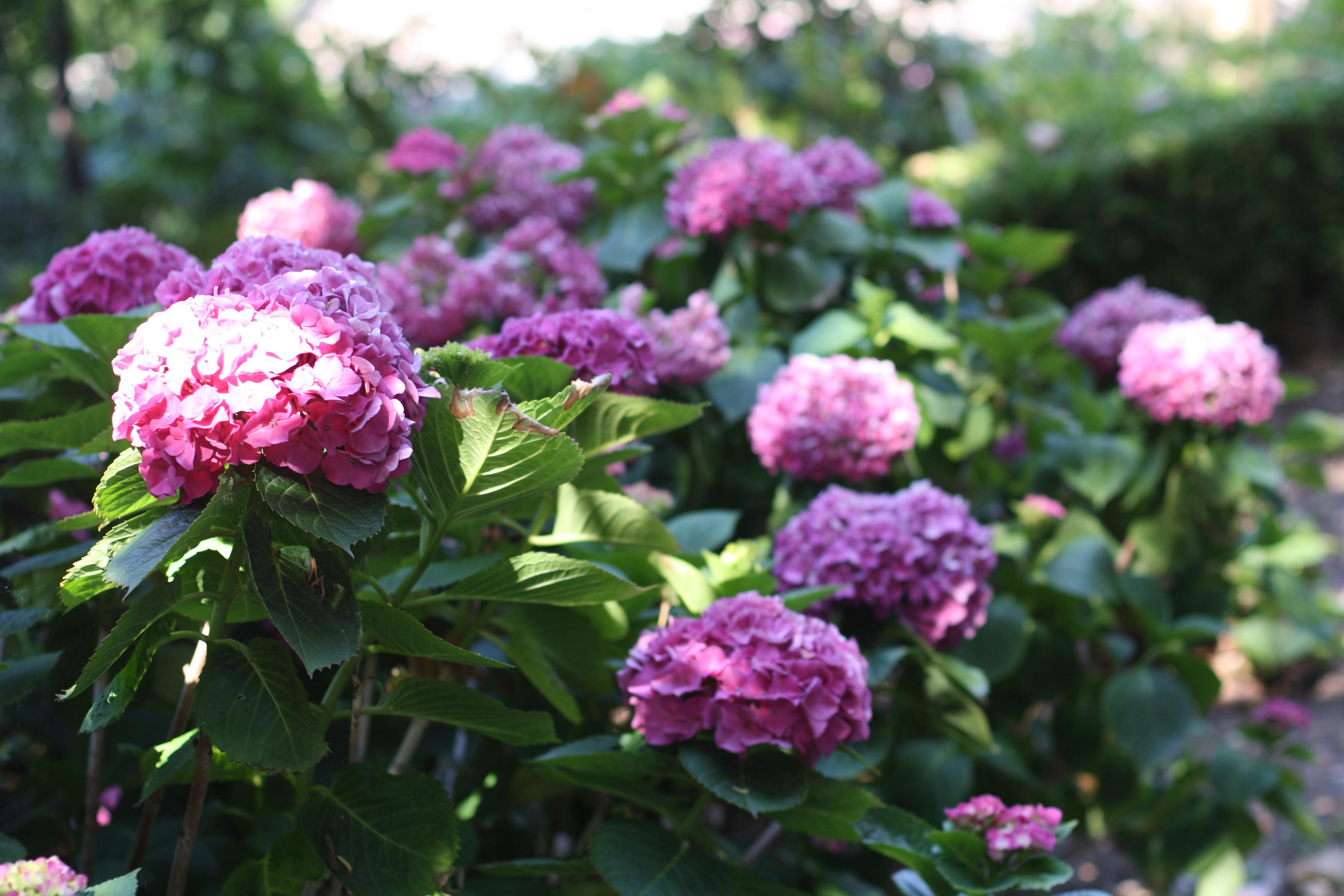 fav arboretum hydrangea 6-09