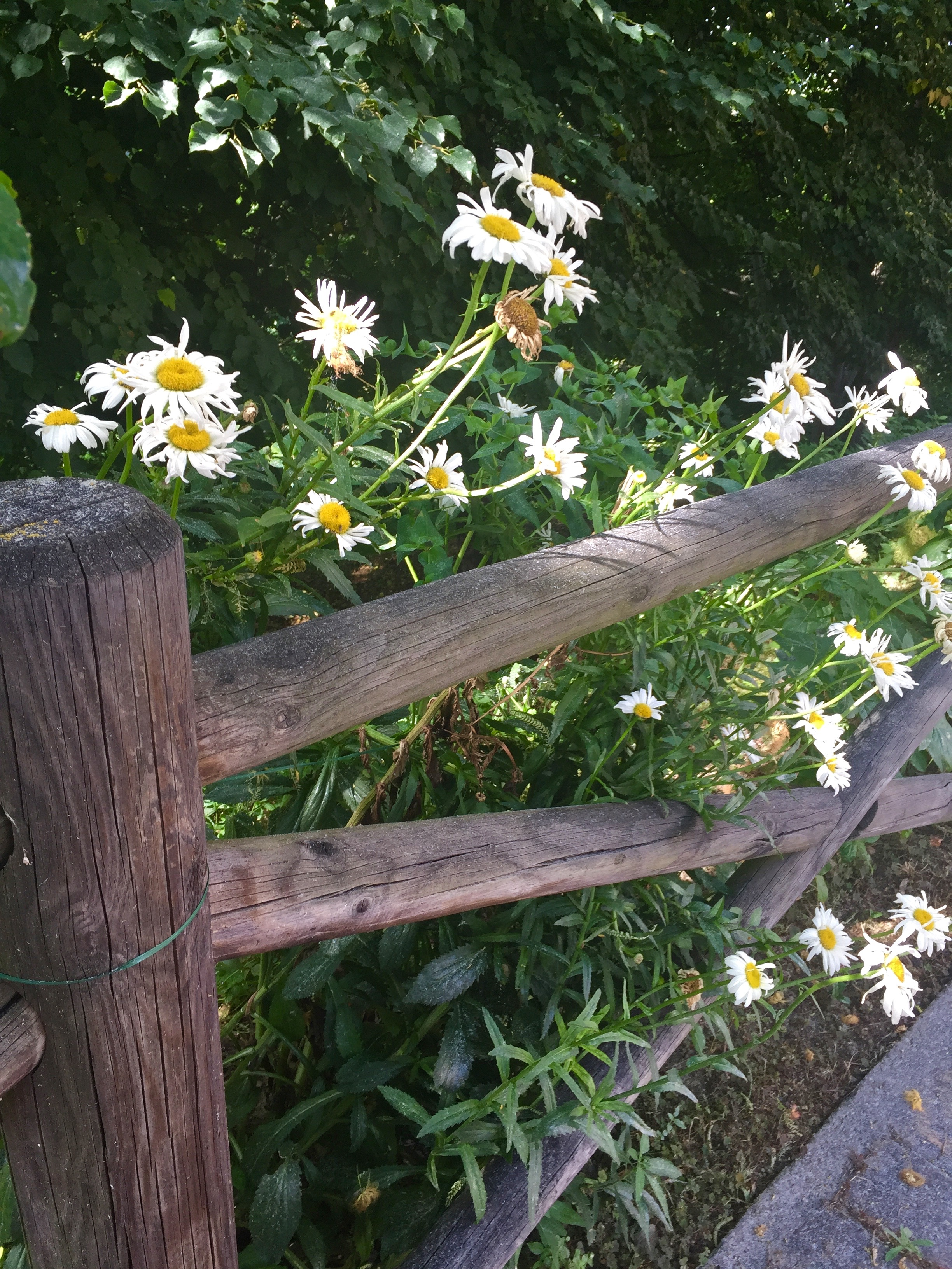 italy daisies IMG_3156