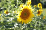 italy sunflower fav IMG_1104