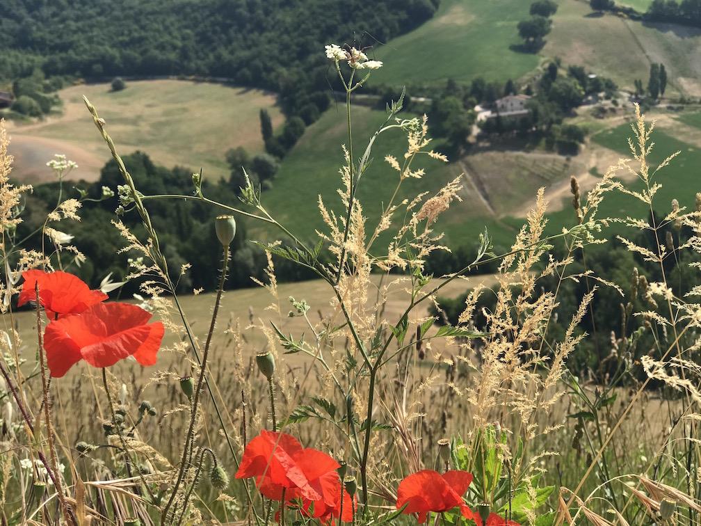 poppy field italy IMG_5492