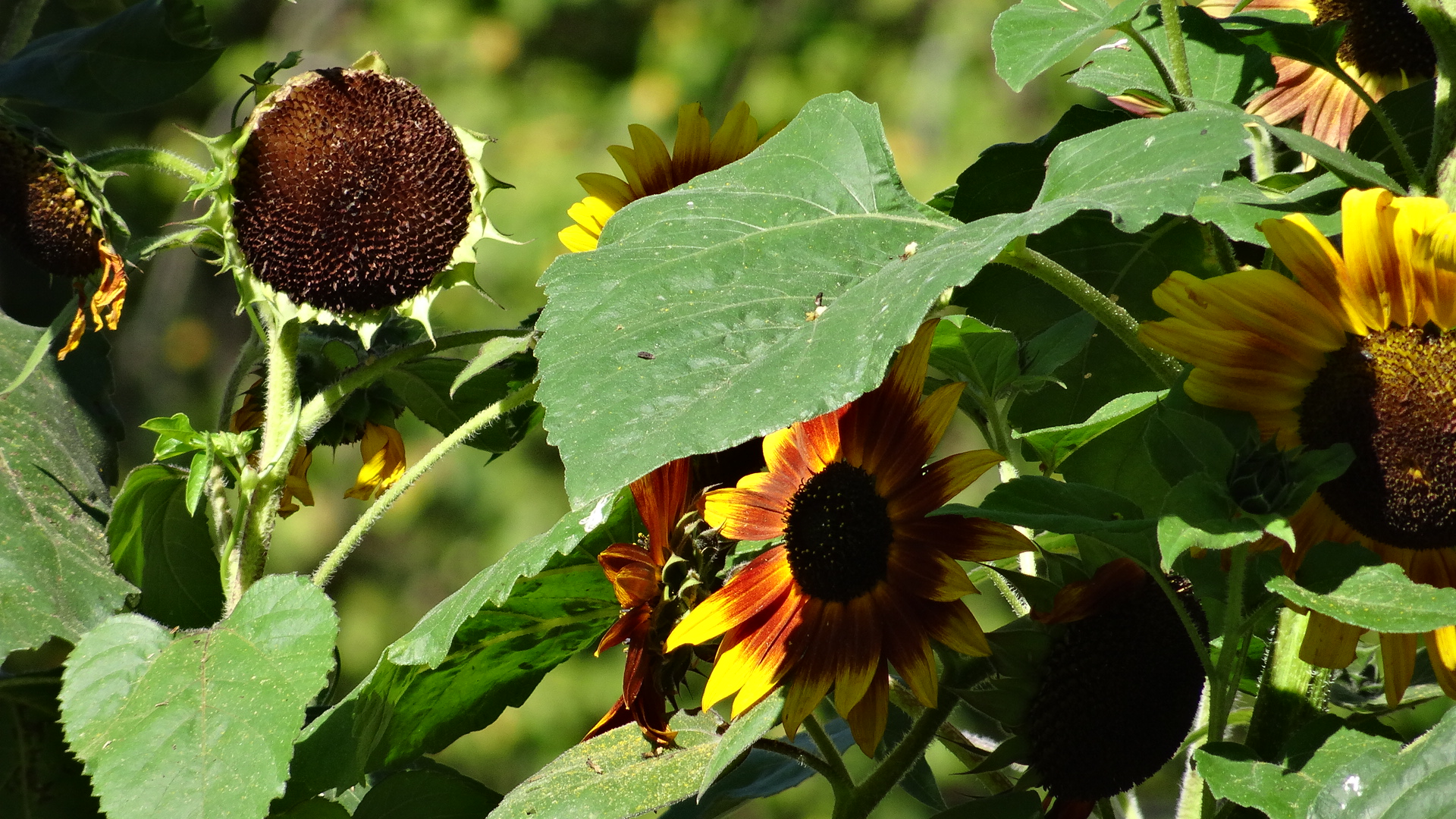 sonoma+sunflowers+france+IMG_0208