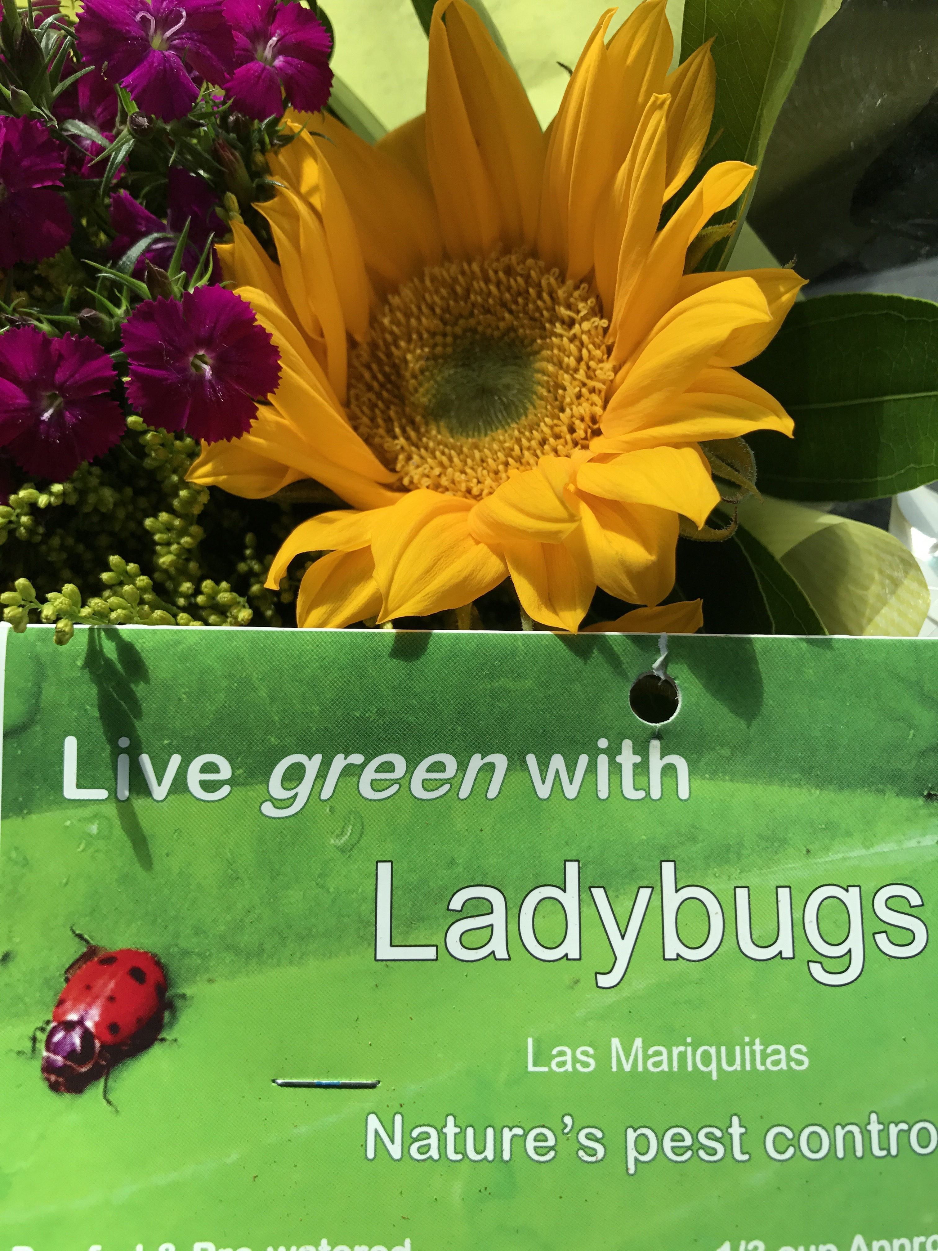 lady bug bugs IMG_3531