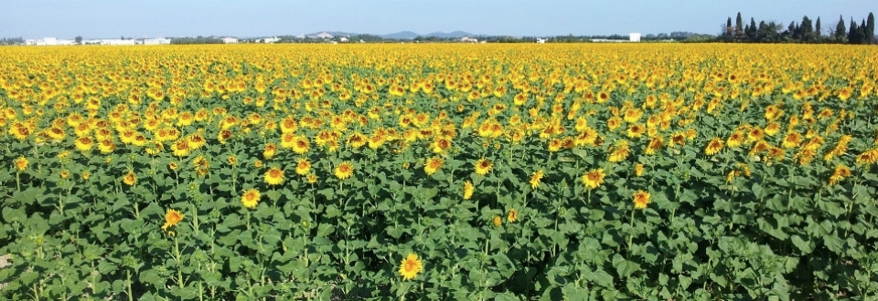 Sunflower-Fields-horizontal-format-for-slider