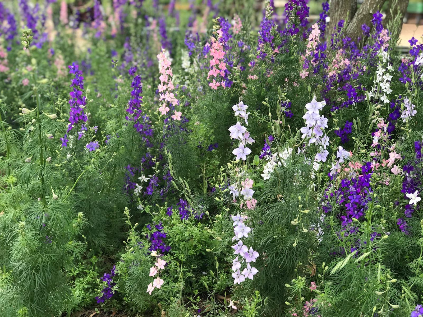 wildflowers larkspur poppy fredericksburg 2018 IMG_7718